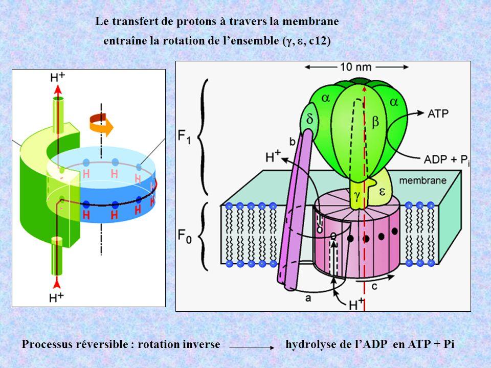 Le transfert de protons à travers la membrane