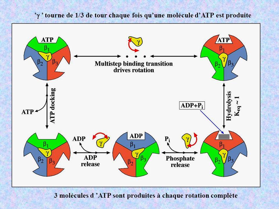 'g ' tourne de 1/3 de tour chaque fois qu'une molécule d'ATP est produite