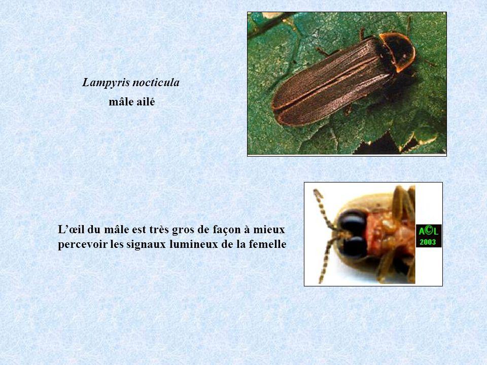 Lampyris nocticula mâle ailé. L'œil du mâle est très gros de façon à mieux.
