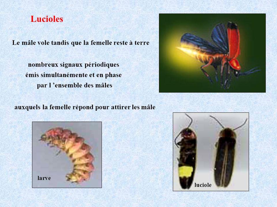 Lucioles Le mâle vole tandis que la femelle reste à terre