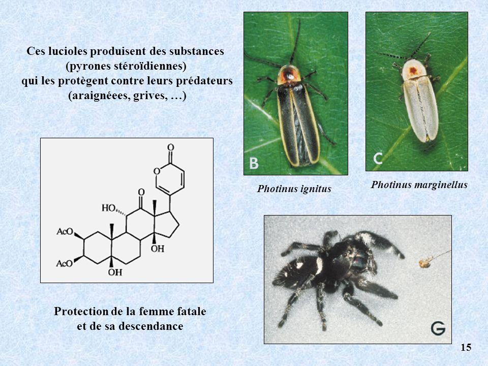 Ces lucioles produisent des substances (pyrones stéroïdiennes)