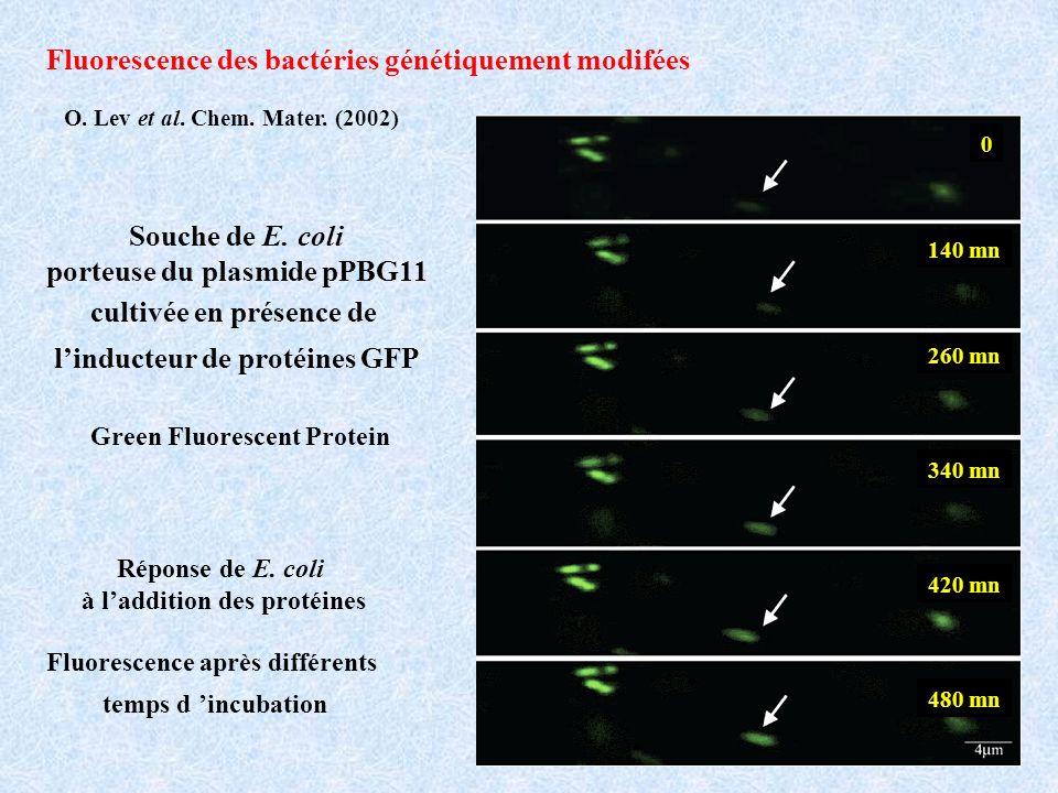 Fluorescence des bactéries génétiquement modifées
