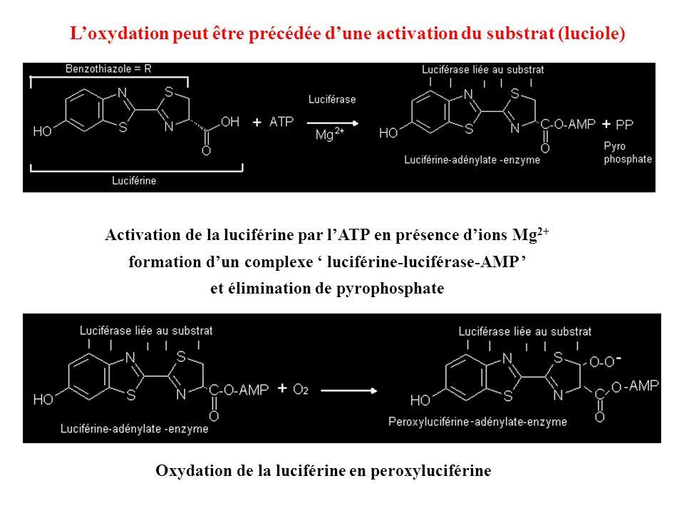 L'oxydation peut être précédée d'une activation du substrat (luciole)
