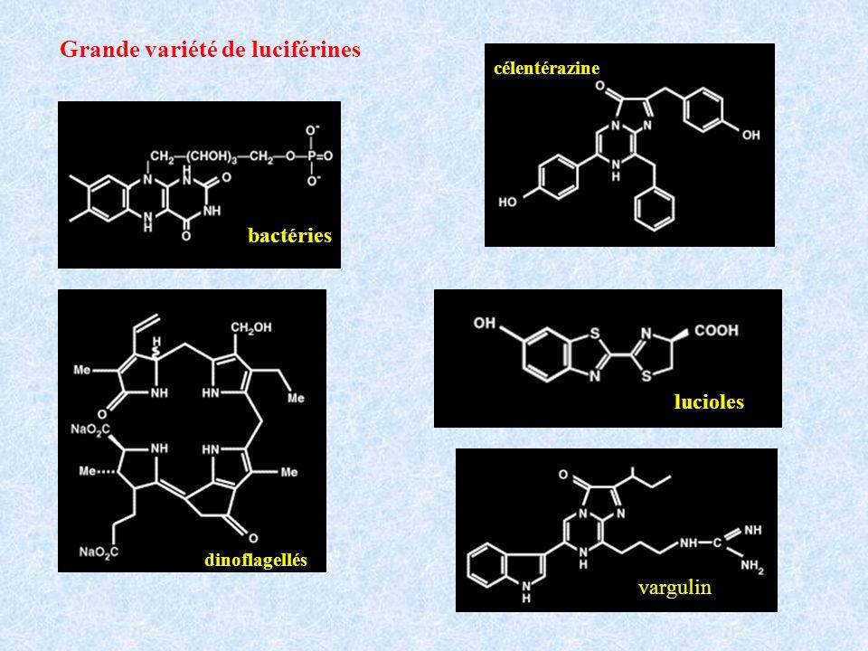 Grande variété de luciférines