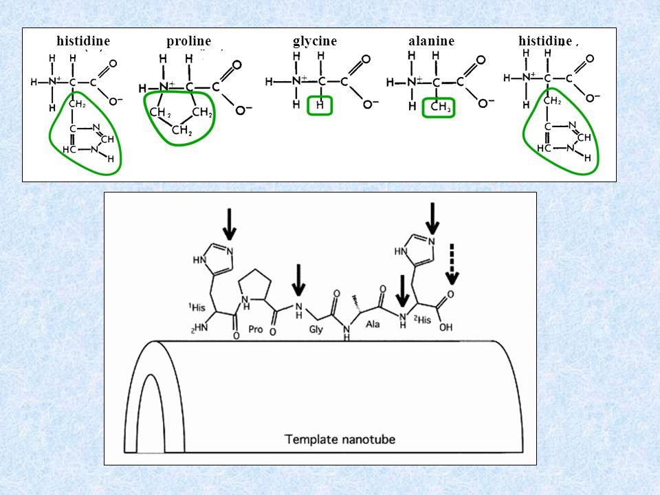 glycine proline histidine alanine