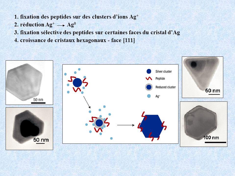 1. fixation des peptides sur des clusters d'ions Ag+