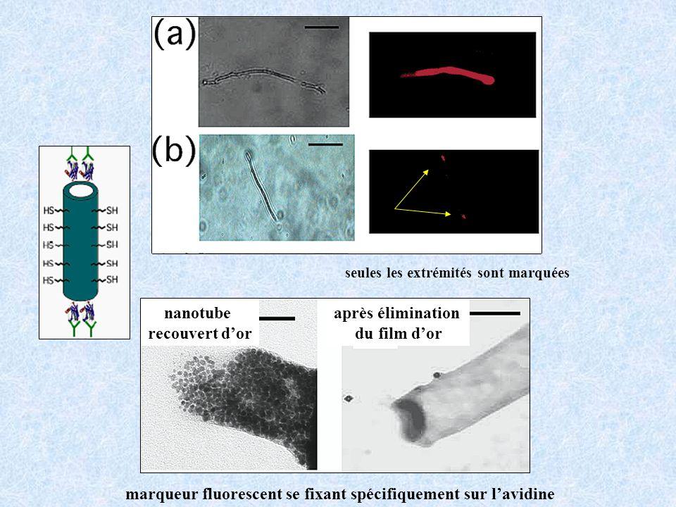 nanotube recouvert d'or après élimination du film d'or