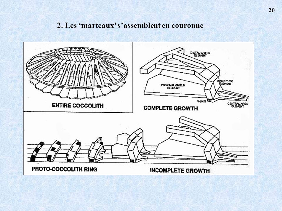 2. Les 'marteaux' s'assemblent en couronne