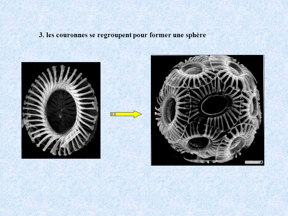 3. les couronnes se regroupent pour former une sphère