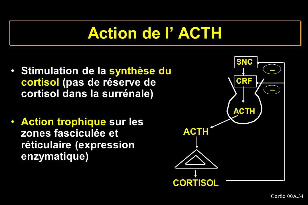 Action de l' ACTH SNC. Stimulation de la synthèse du cortisol (pas de réserve de cortisol dans la surrénale)
