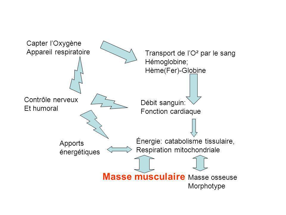 Masse musculaire Capter l'Oxygène Appareil respiratoire