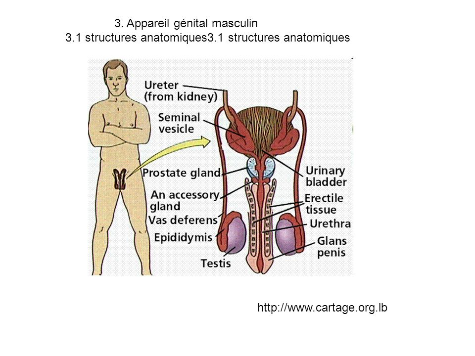 3. Appareil génital masculin