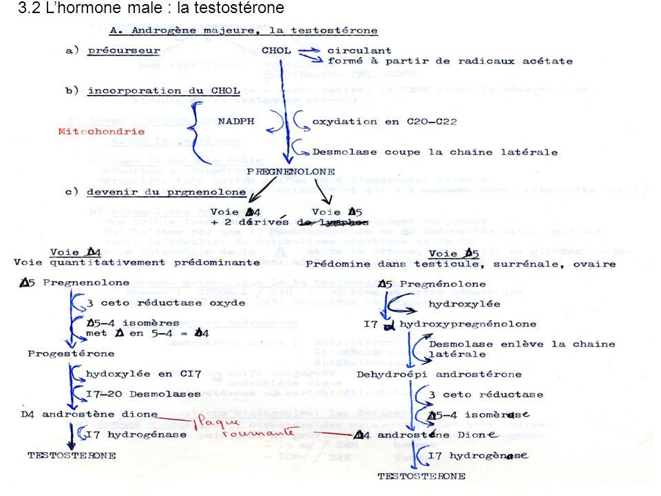 3.2 L'hormone male : la testostérone