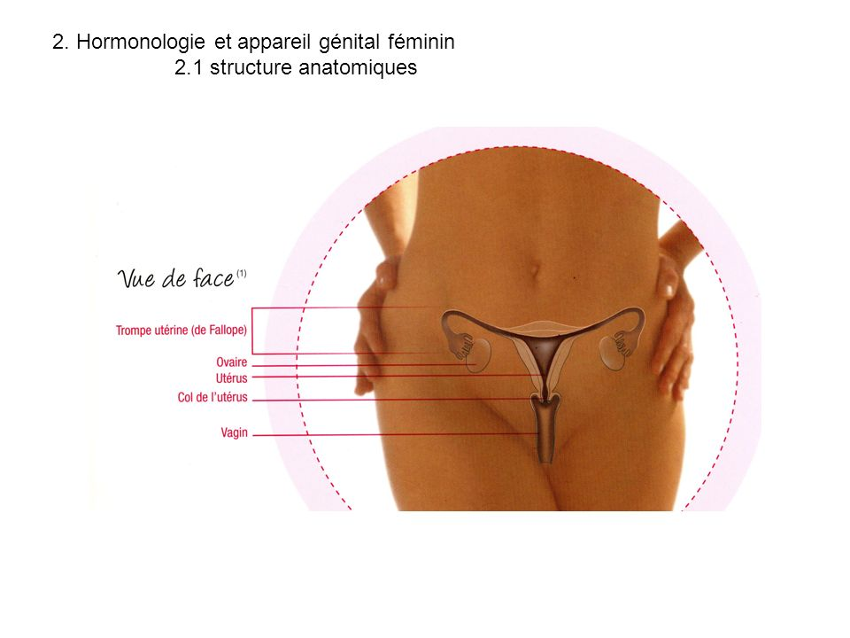 2. Hormonologie et appareil génital féminin 2.1 structure anatomiques