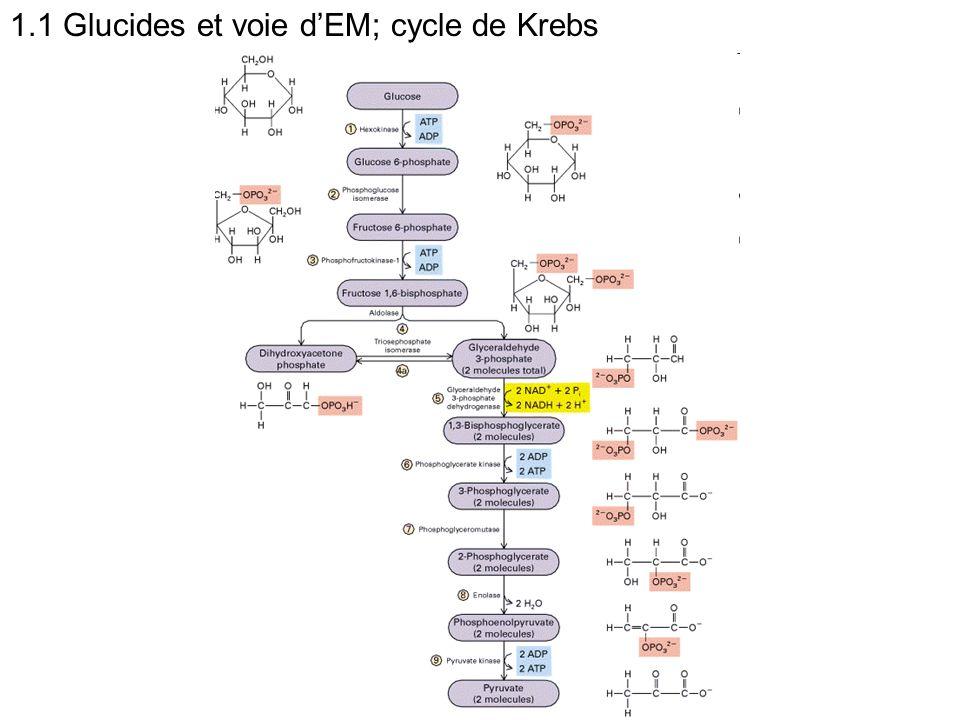 1.1 Glucides et voie d'EM; cycle de Krebs