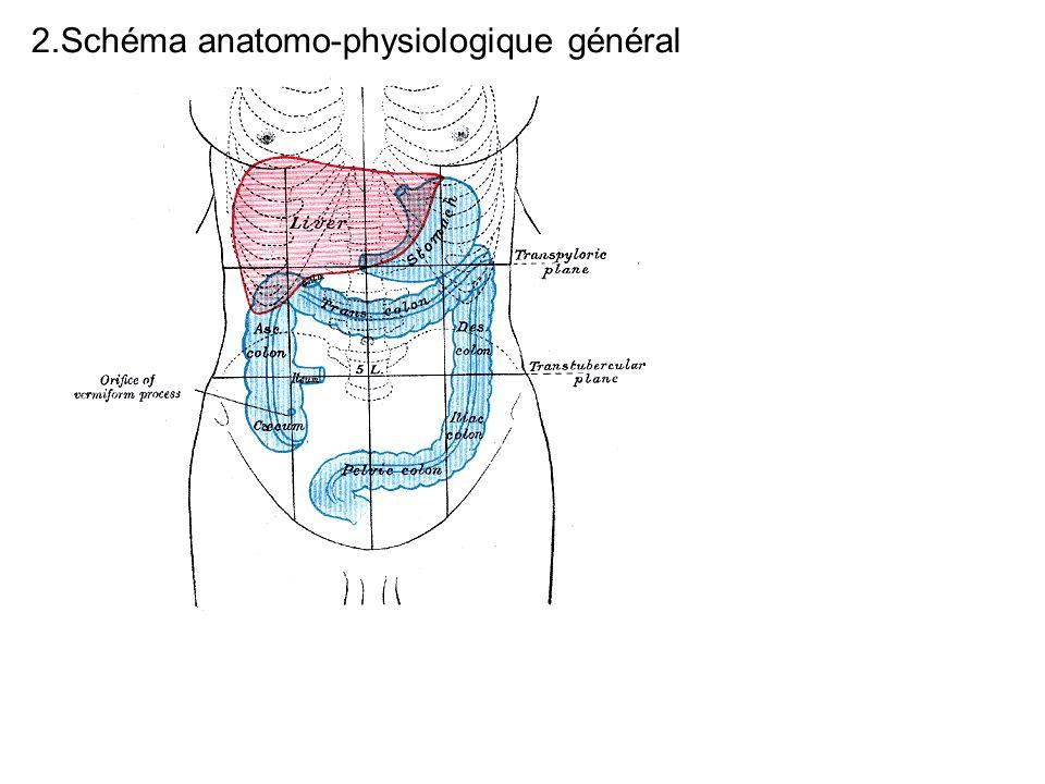 2.Schéma anatomo-physiologique général