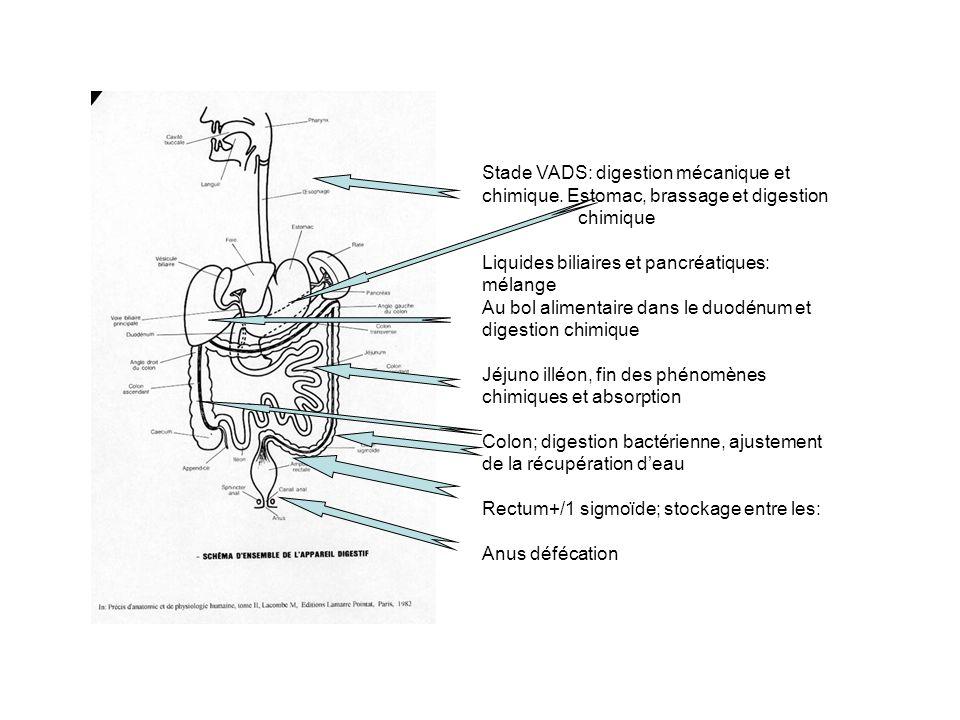 Stade VADS: digestion mécanique et chimique