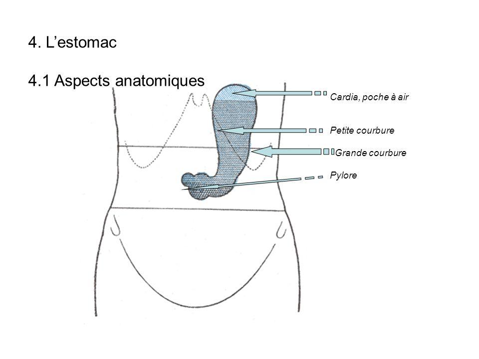 4. L'estomac 4.1 Aspects anatomiques Cardia, poche à air