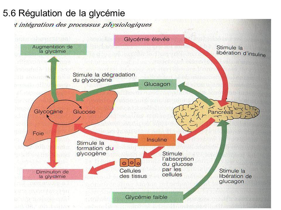 5.6 Régulation de la glycémie