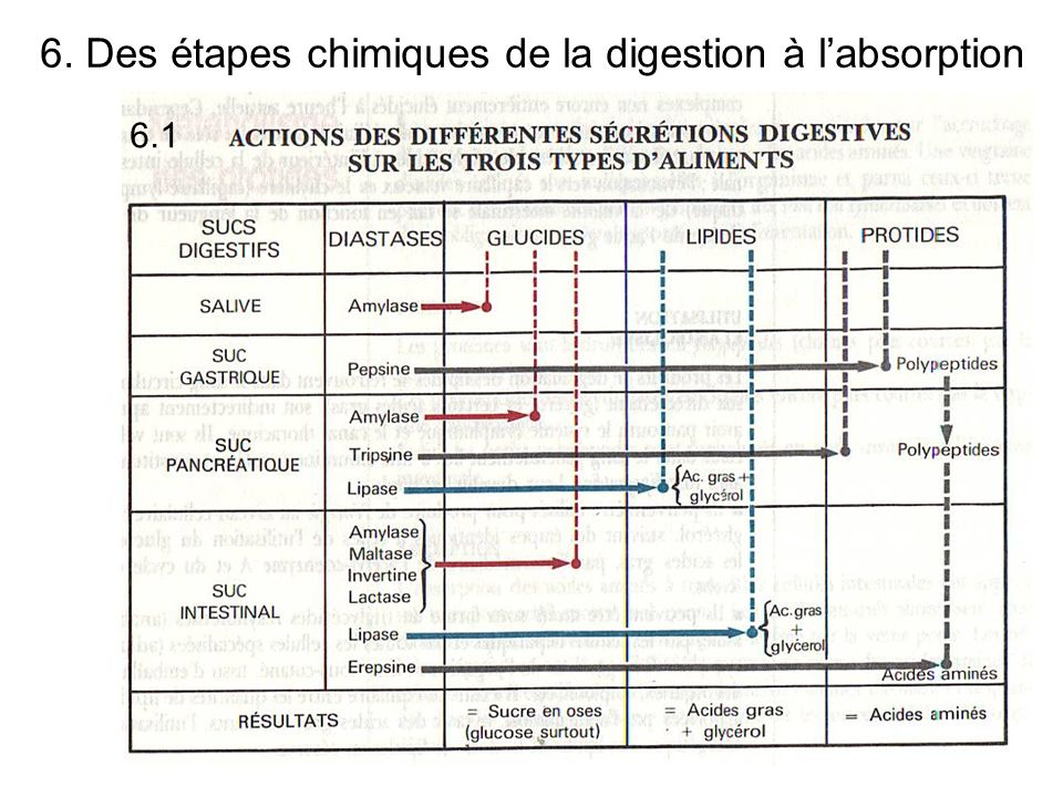6. Des étapes chimiques de la digestion à l'absorption