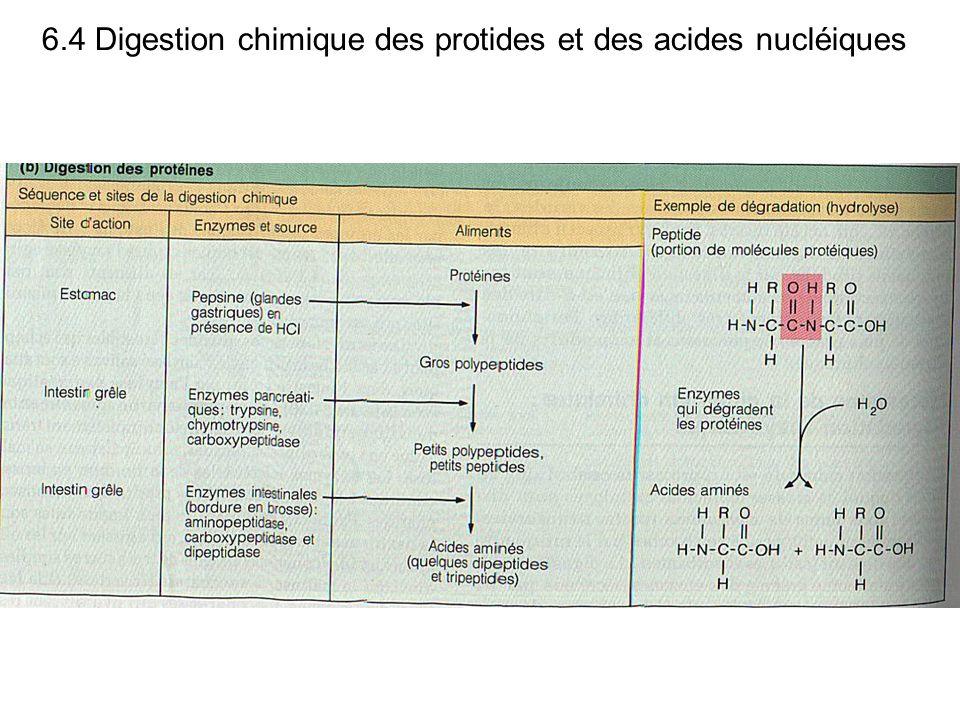 6.4 Digestion chimique des protides et des acides nucléiques