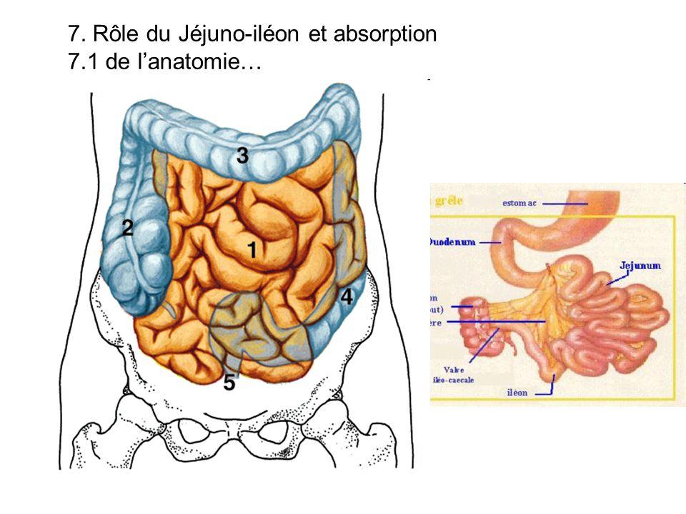 7. Rôle du Jéjuno-iléon et absorption