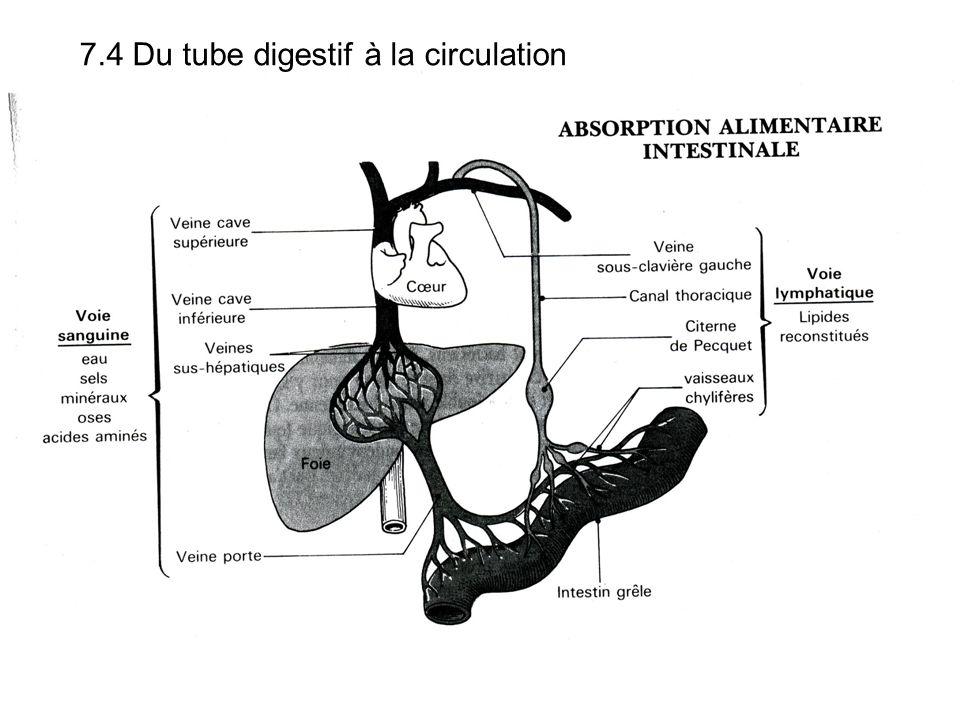 7.4 Du tube digestif à la circulation