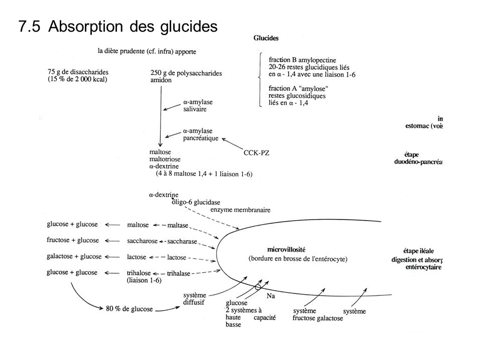 7.5 Absorption des glucides