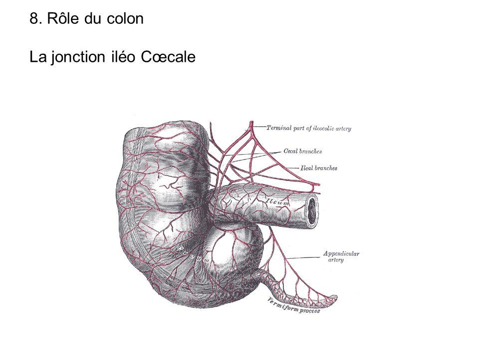 8. Rôle du colon La jonction iléo Cœcale