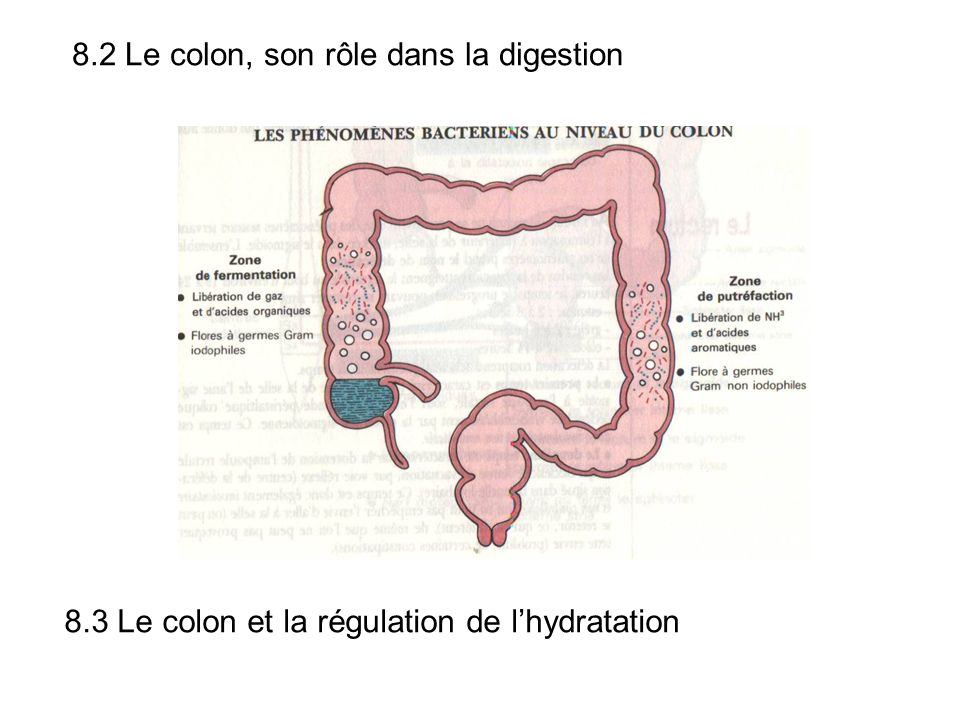 8.2 Le colon, son rôle dans la digestion