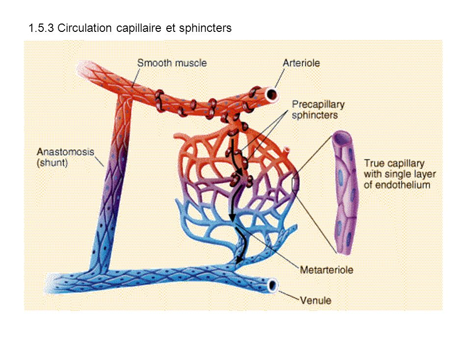 1.5.3 Circulation capillaire et sphincters