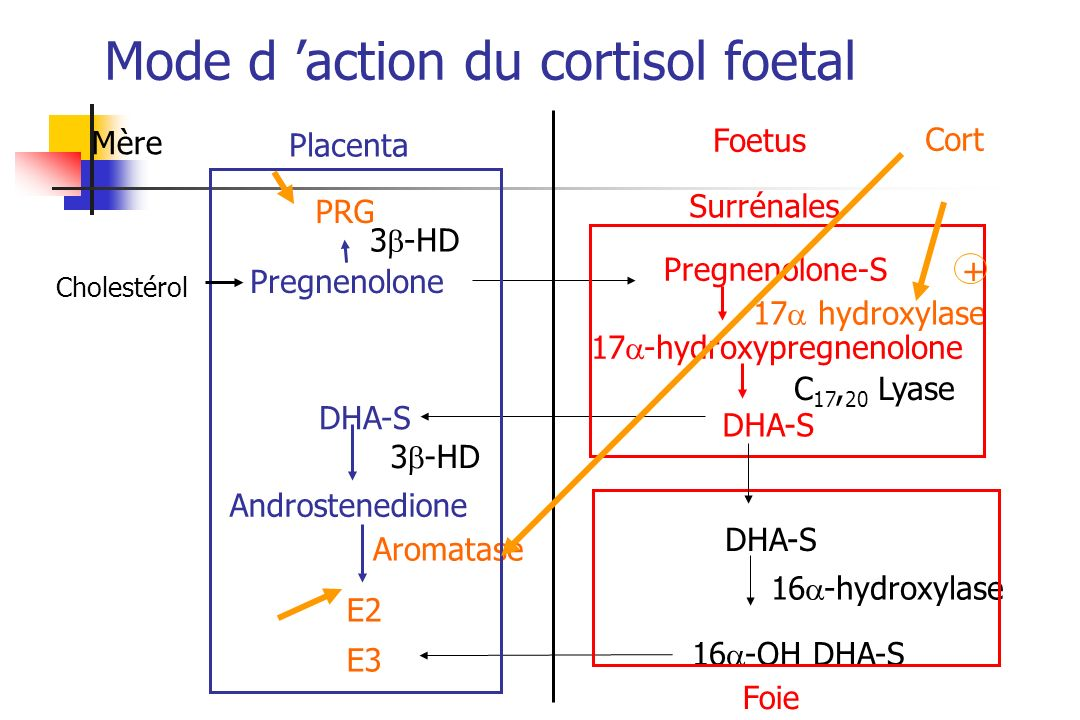 Mode d 'action du cortisol foetal