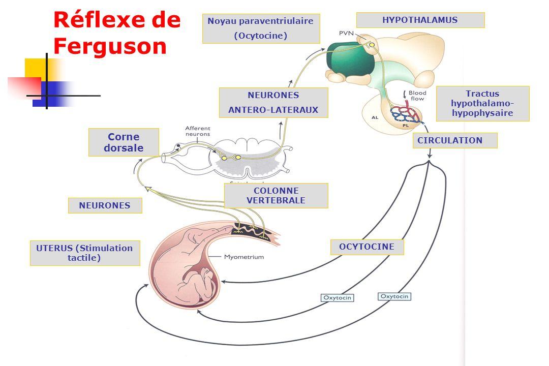 Réflexe de Ferguson Corne dorsale Noyau paraventriulaire HYPOTHALAMUS