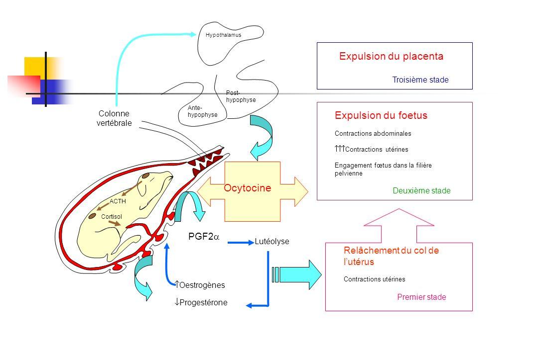 Expulsion du placenta Expulsion du foetus Ocytocine PGF2