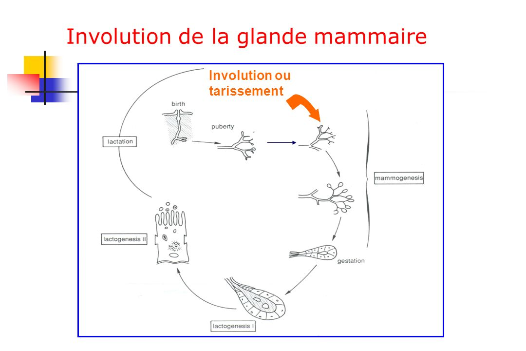 Involution de la glande mammaire