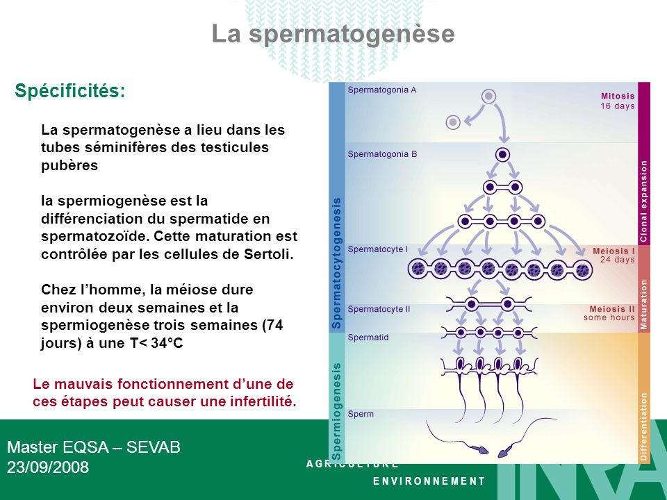 La spermatogenèse Spécificités: Master EQSA – SEVAB 23/09/2008