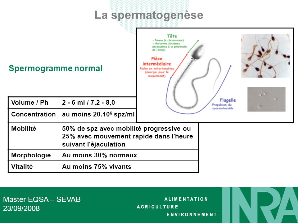La spermatogenèse Spermogramme normal Master EQSA – SEVAB 23/09/2008