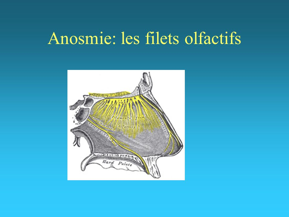 Anosmie: les filets olfactifs