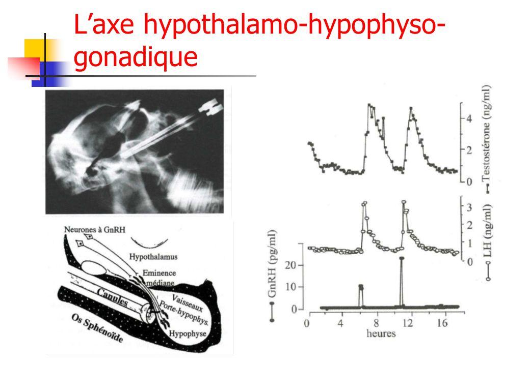 L'axe hypothalamo-hypophyso-gonadique