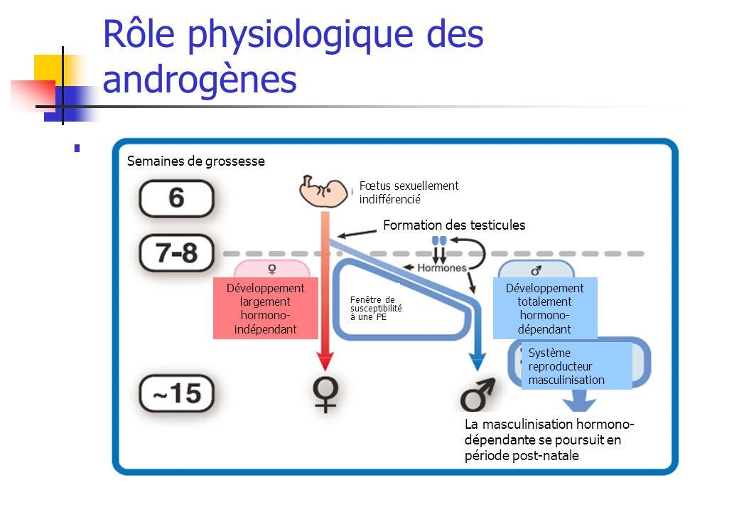 Rôle physiologique des androgènes