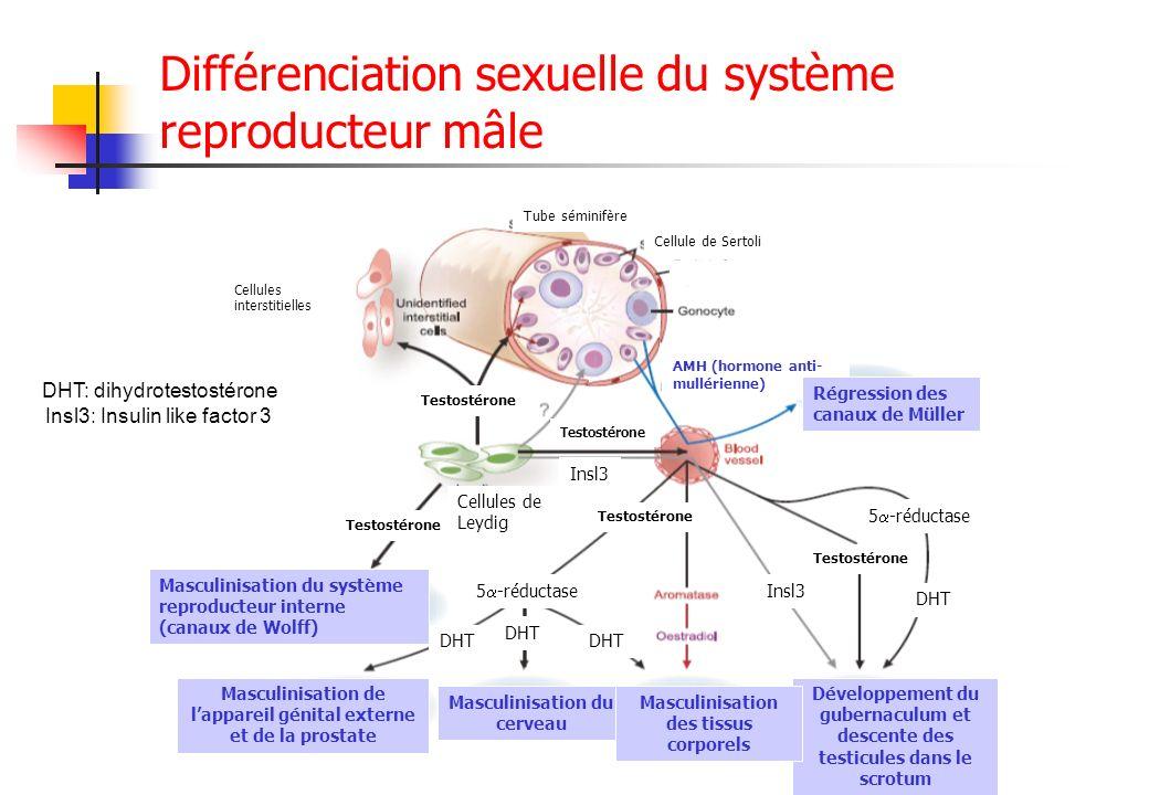 Différenciation sexuelle du système reproducteur mâle