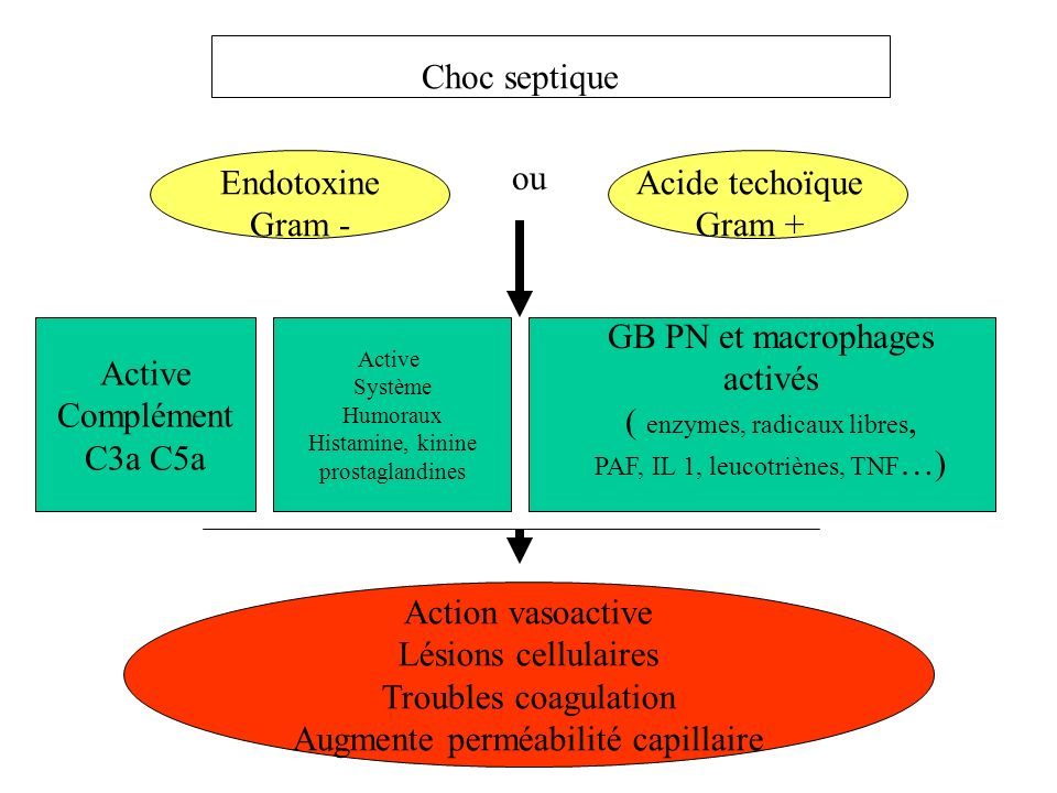 GB PN et macrophages activés ( enzymes, radicaux libres, Active