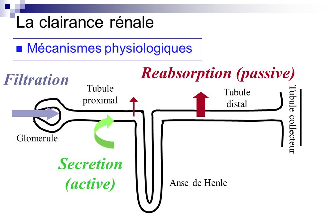 Reabsorption (passive) Filtration