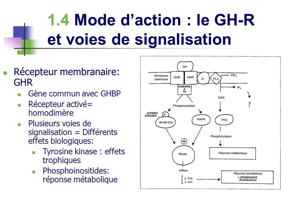 1.4 Mode d'action : le GH-R et voies de signalisation