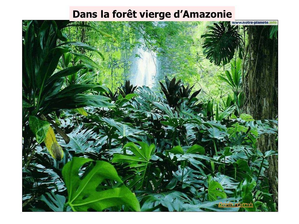 Dans la forêt vierge d'Amazonie