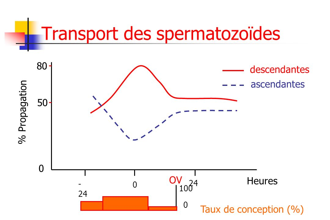 Transport des spermatozoïdes