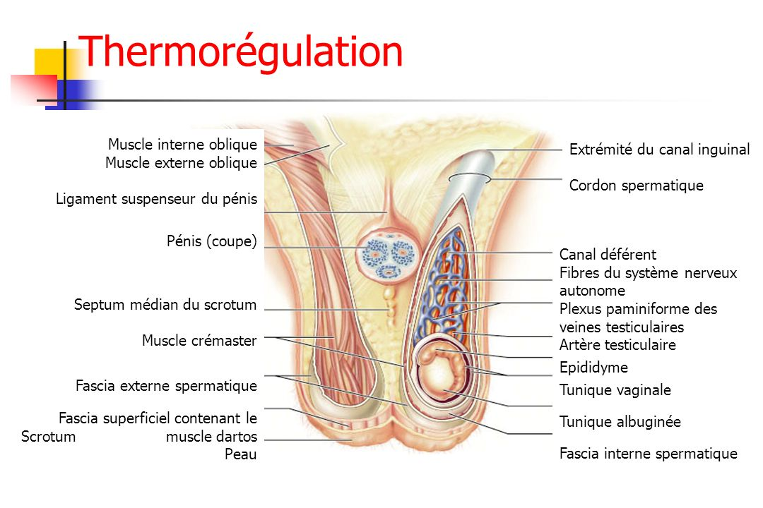 Thermorégulation Extrémité du canal inguinal Cordon spermatique