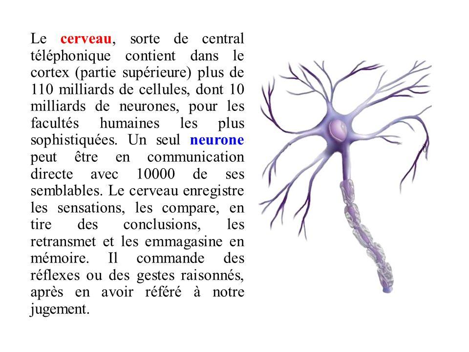 Le cerveau, sorte de central téléphonique contient dans le cortex (partie supérieure) plus de 110 milliards de cellules, dont 10 milliards de neurones, pour les facultés humaines les plus sophistiquées.