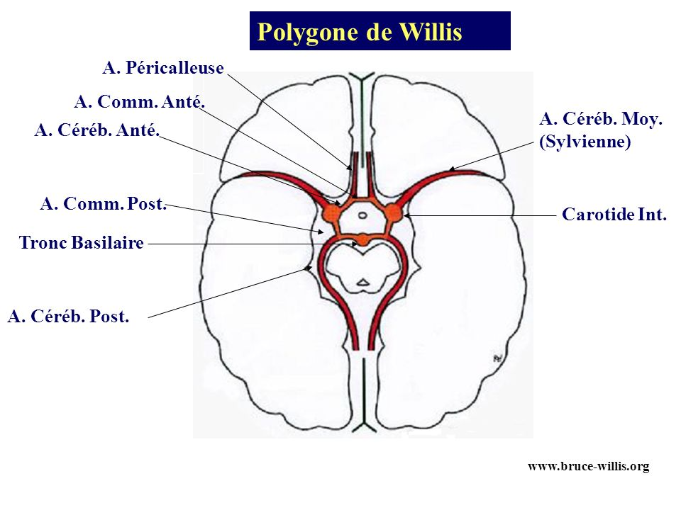 Polygone de Willis A. Péricalleuse A. Comm. Anté. A. Céréb. Moy.