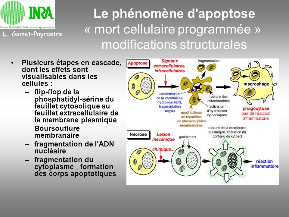 L. Gamet-Payrastre Le phénomène d apoptose « mort cellulaire programmée » modifications structurales.